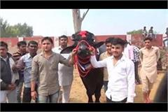 crores price of buffaloes in narnond animal fair