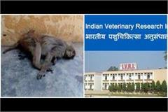 ivri engaged in resolving knot of apes in amroha