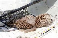 dead leopard found in fields missing nails tried to extract teeth