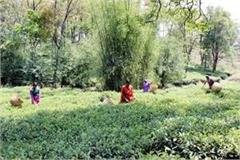 kangra tea industry forced to fight the war of existence