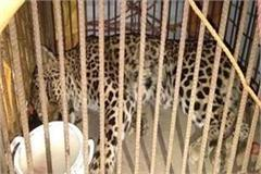 hospital risking sick leopard for treatment
