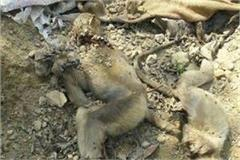 do not stop the death of monkeys dambarasi 5 killed and monkeys die