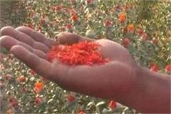 kesar s fragrance in the plain areas of kausambi