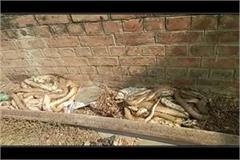 dead cobra snake found in hundreds of hundreds of railway yards
