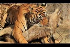 damoh panna tiger reserve safari