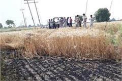 four acres of wheat crop burnt in fire on short circuit