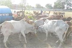 80 cows freed by gorakshak dal from animal smuggler