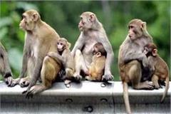 now government such will deal with monkeys in himachal