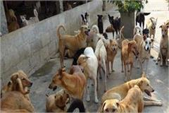 municipal corporation will be stabbing dogs fearing events of sitapur