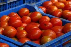 tomato prices fell in haryana punjab