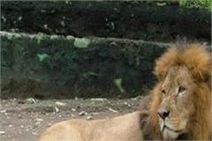 renuka lion safari will now appear in tiger