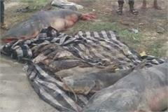 fish killed by poisonous water in beas darya
