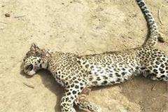 female leopard dead body found in sohna