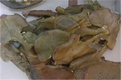 turtle membrane recovered in powerful drugs 2 people arrested