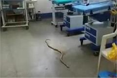 the 7 feet long serpent circulating in the hospital s maternal child ward
