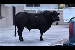 a deadly bull is bone of contention for the people of jawali
