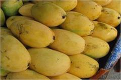 dussehri mangoes in the market prices rise sharply