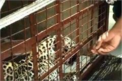treatment of leopard in madhya pradesh