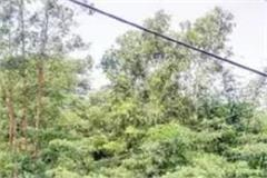 threatened electricity wires pass through the trees