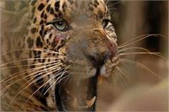 panic of leopard leopard in gonda and bahraich