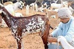 benefits of goat meat and milk products profitable icar