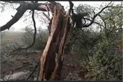 lightning on tree wooden pieces spread over 500 meters
