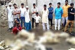 stray dogs kill 26 sheep