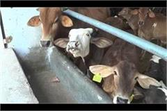cows facing problems of farmers agitation forced to suffer hunger