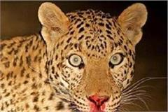 leopard attacks 6 people on sitapur