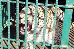 snow leopard trapped in cage people breathed of relief