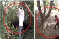 human beings on animals drink alcohol brutally beat cow and calf