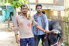 brave youth caught stray bull people breathed in relief