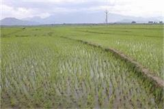 mud put 100 acres of paddy crop submerged in water