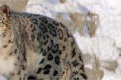 center clears secure himachal project for conservation of snow leopard
