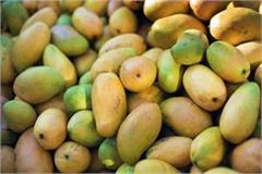 mango output in 2017 18 seen higher by 8 pc
