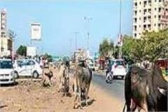 haryana prepares to make cattle free
