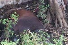 human beings on bereft of animals beat the bull to death