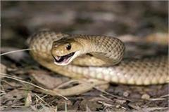 snake stings two bothers in balia
