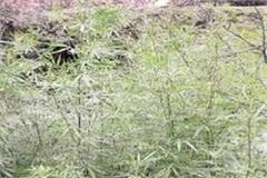usage of cannabis addicts