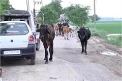 cows death in gaushala case shocking revelations in doctors report