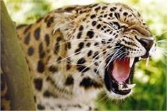 panic in people from leopard forest department install the cage