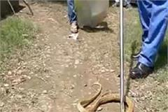 then turned out to be a poisonous snake of 6 feet