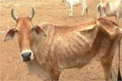 neglect of cow slaughter in government