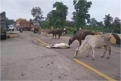 uncontrollable truck climbed on cattle 12 cattle destroyed on the spot