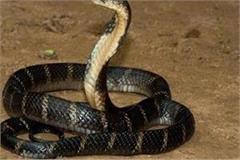 cobra has not bitten twice