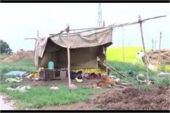 7 cows die of hunger in illegal cow shelter