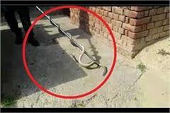 seven feet long poisonous snake in the civil hospital quarters