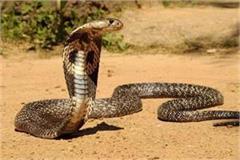 ladbhadol woman snake bite