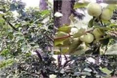 this time japanese fruit will improve farmers economics