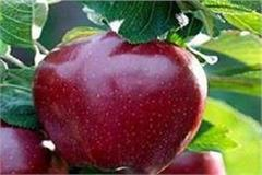 disease of america s apple still dangerous on himachali red gold